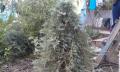 Кипарисовик горохоплодный булевард