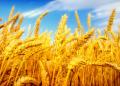 Пшеница, 3 класс, в больших объема
