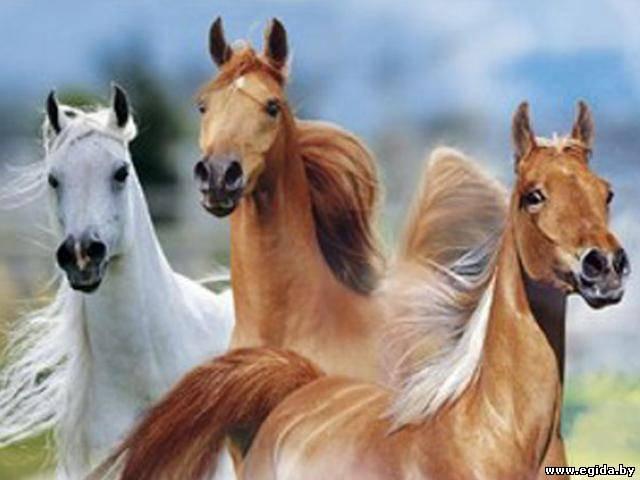 Заказать Разведение племенных лошадей