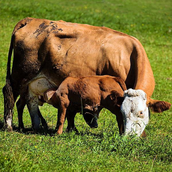 Заказать Разведение коров