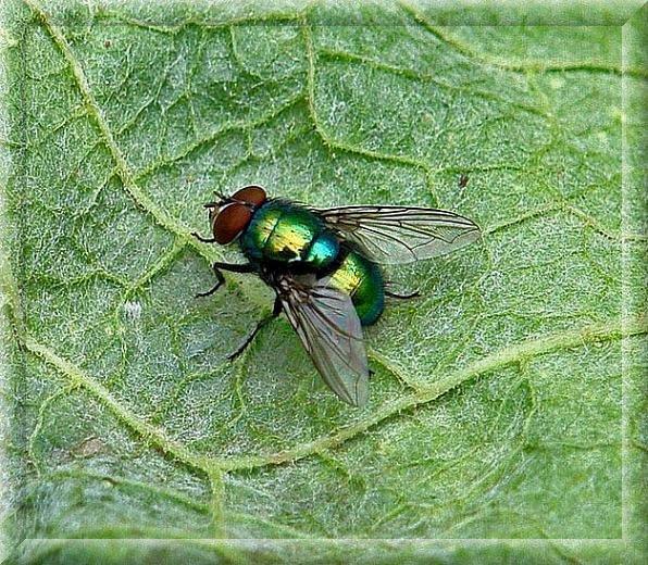 Order Extermination of flies, Disinsection, Dezstantion Nadezhda and K, LLP, Mucha, extermination of flies, fight against flies