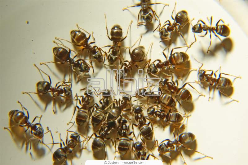 Заказать Уничтожение муравьев, дезинсекция