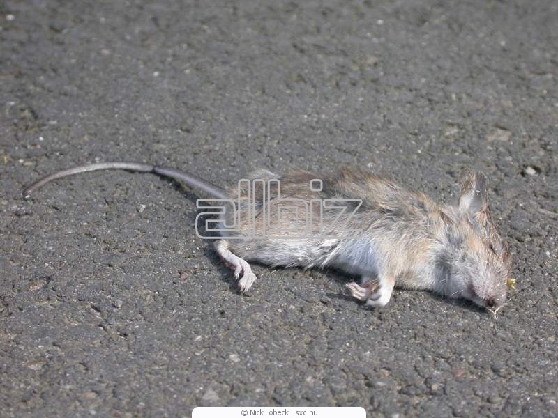 Заказать Уничтожение мышей, дератизация