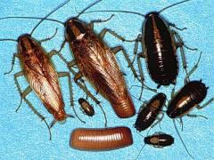 Extermination of cockroaches