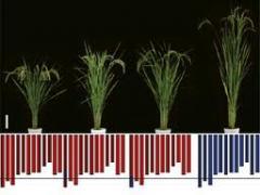 Селекция семян риса