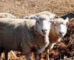 Cultivation of sheep