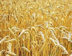 Зерновые и масличные культуры