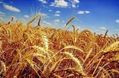 Переработка пшеницы