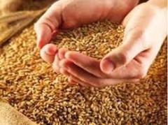 Сушка зерна, кукуруза