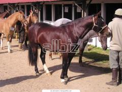 Продажа племенных лошадей,продажа лошадей