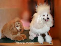 Hairstyle of dogs of breed poodle and Yorkshire