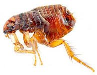 Services in extermination of fleas