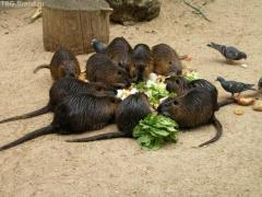 Fight against rats