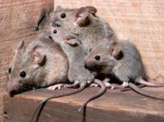 Services in extermination of rats