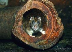 Services in extermination of mice