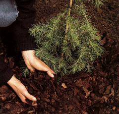 Landing of coniferous saplings