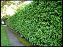 The device of green hedges from deciduous plants
