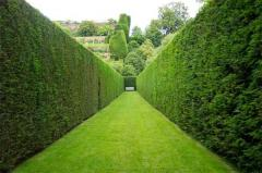 The device of green hedges from coniferous plants