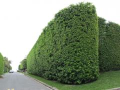 Hairstyle forming a green hedge from coniferous