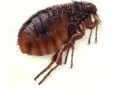 Extermination of fleas