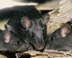 Protection against rodents
