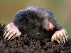 Fight against moles