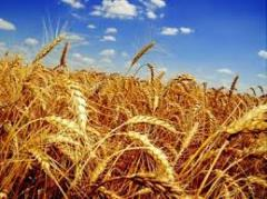 Search of the grain suitable on quality in any