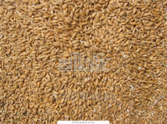 Processing of grain of buckwheat and whea