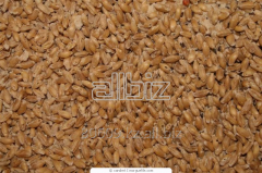 Cultivation of grain crops