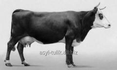 Insemination of cows and heifers