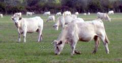 Создание кормовых площадок для коров породы