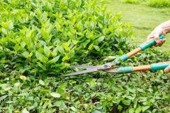 Sanitary pruning of trees