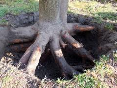 Uprooting of trees