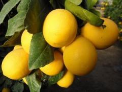 Строительство Лимонария