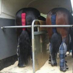 Transportation of horses