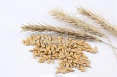 Закупка пшеницы