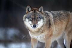 Wolf jacht in Kazachstan