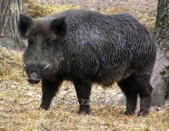 Kazakistan'da yaban domuzu için Avcılık