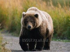 Kazakistan'da avcılık Bear