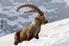 Kazakistan'da Sibirya Ibex için Hunt