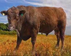 Сперма племенных быков-производителей породы Красный Ангус