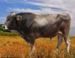 Семя Швицкой породы племенного быка-производителя