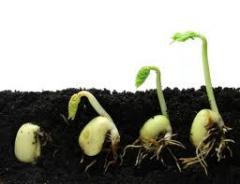 Выращивание семян сельскохозяйственных культур.