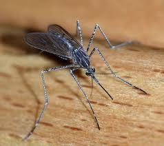 Destruction of mosquitoes