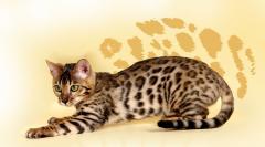 Продажа элитных пород котят