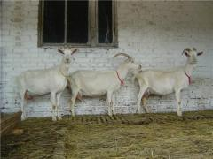 Cultivation of goats