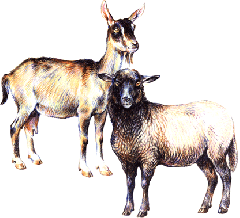 Cultivation of sheep and goats