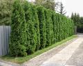 Устройство живых изгородей из хвойных растений (свыше 100 см)