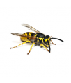 Processing from wasps in Almaty